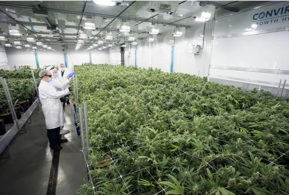 Azioni Cannabis: Quali scegliere? Migliori titoli sulla canapa consigliati; guida completa a cura di Investimentifinanziari.net